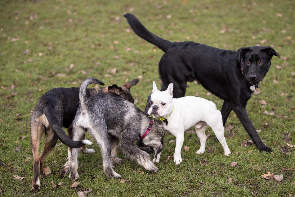 Hunde toben auf einer Hundewiese an der Alster.