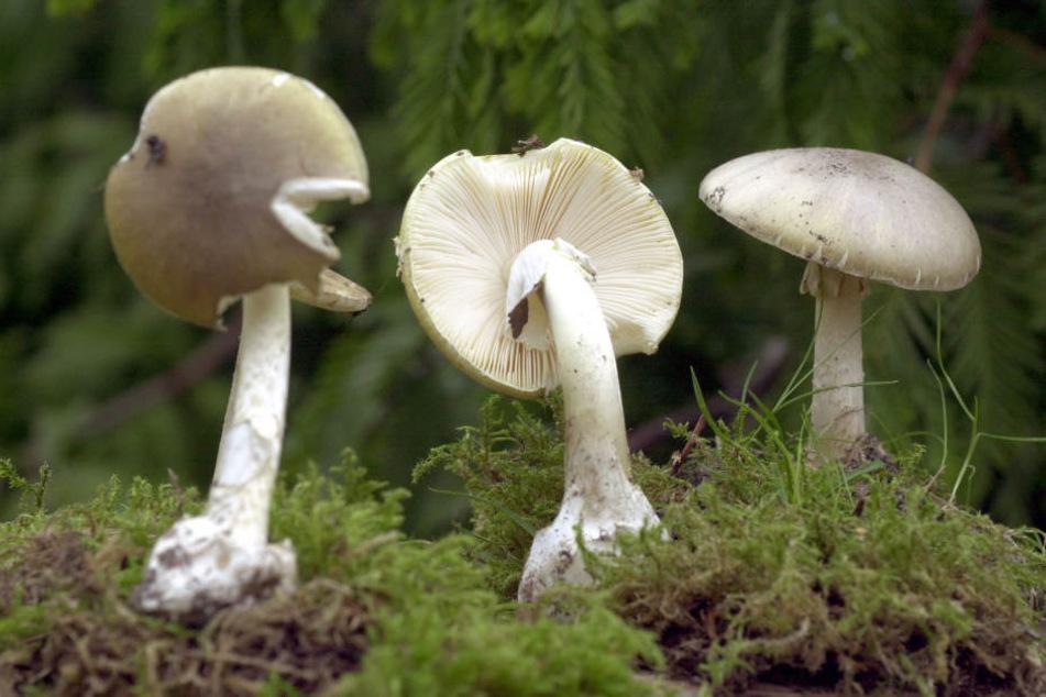 Der Knollenblätterpilz wird häufig mit essbaren Pilzen verwechselt.