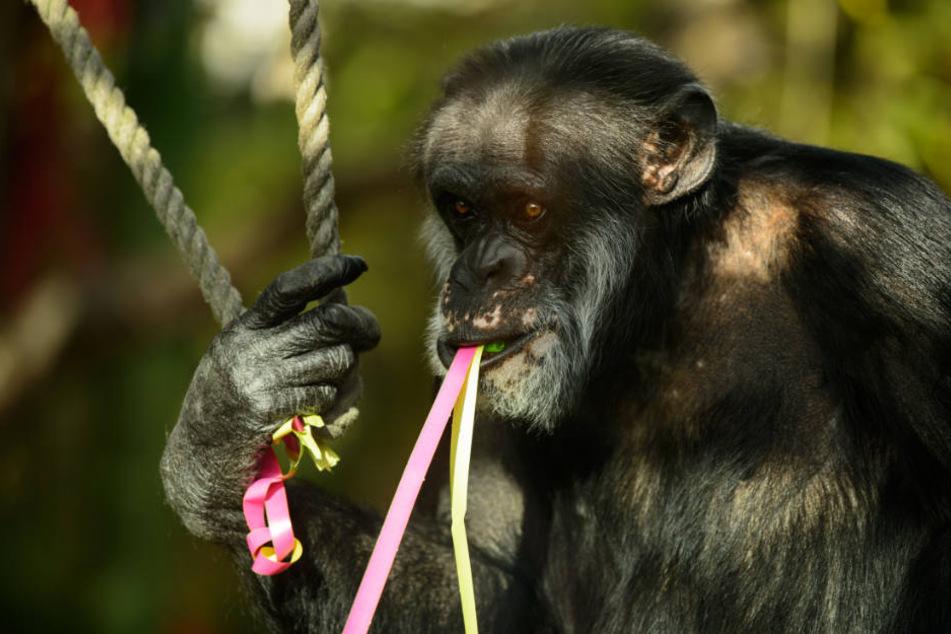 Ist mit 50 Jahren der Schimpansen-Senior in Karsruhe: Benny.