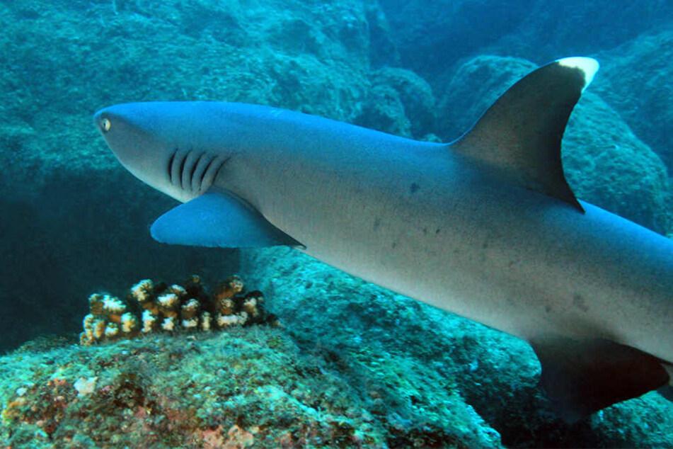 Der Weißspitzenhai gilt als gefährlicher, opportunistischer Jäger. (Symbolbild)