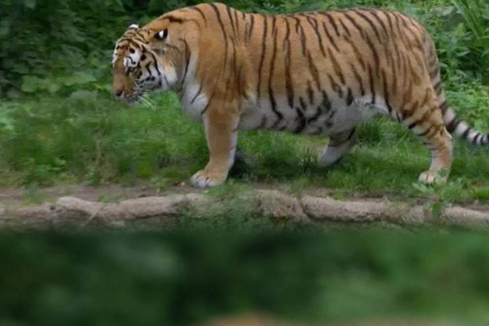 Für einige Fernsehzuschauer machten sich angesichts der Körperfülle von Tigermama Bella sorgen um die Großkatze.