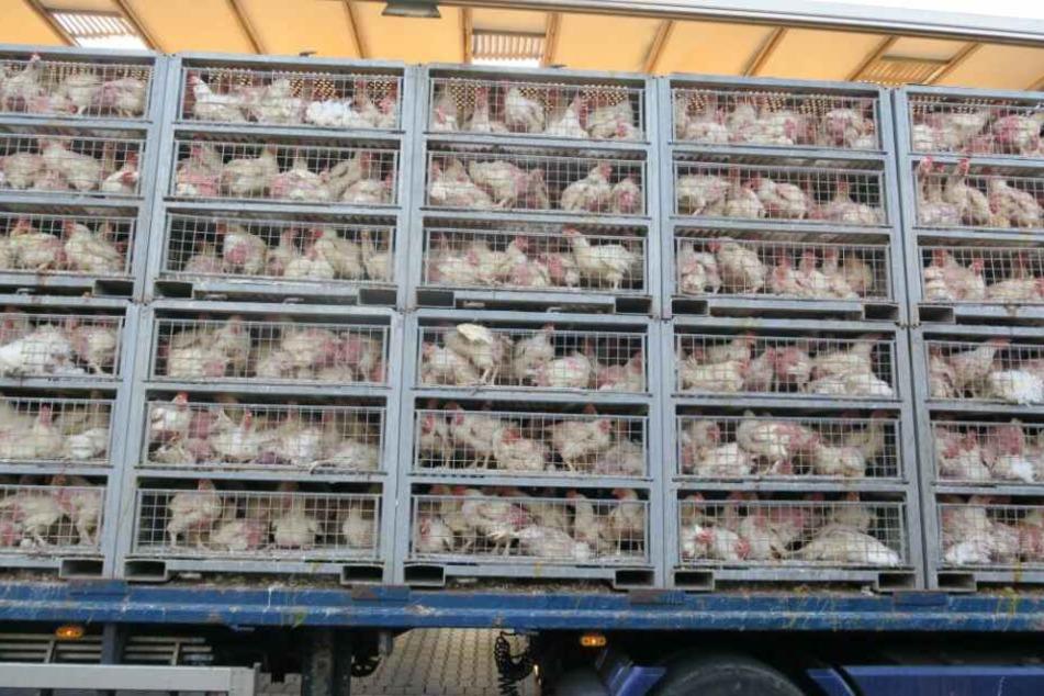 Gießen: Hunderte Hühner sterben Hitze-Tod auf A5