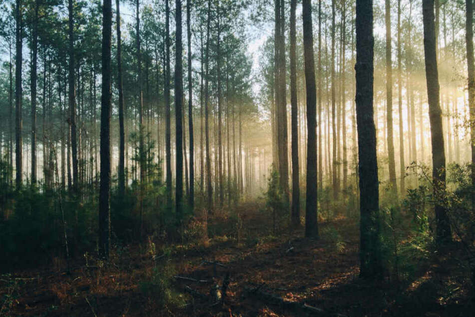 Trockene Sommer und der Borkenkäfer machen dem Wald zu schaffen. (Symbolbild)