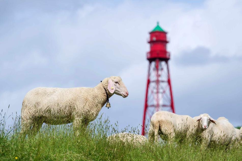 Schafe grasen vor dem Campener Leuchtturm.