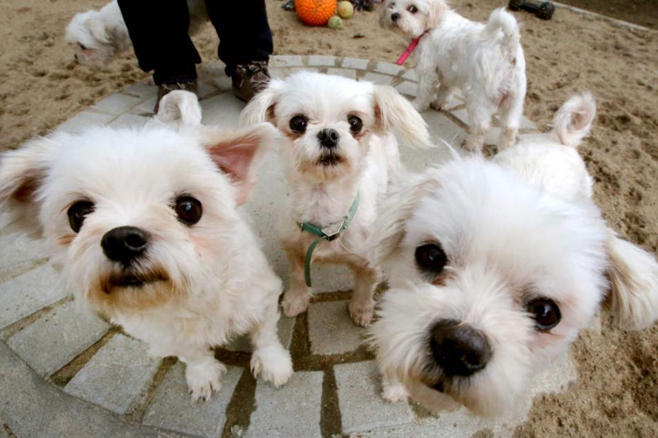 90 Yorkshire Terrier und andere kleine Hunde lebten allein im Haus der Tierquäler (Symbolbild).