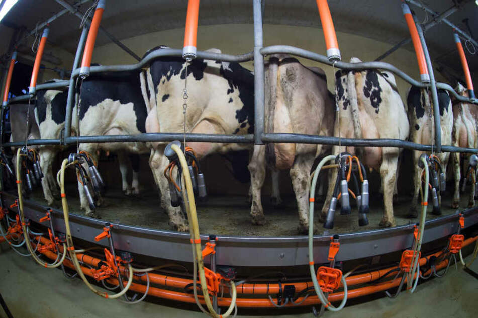 Milchkühe stehen auf einem Bauernhof im Melkstand. Deutschlands Milchbauern sterben weiter aus. (Archivbild)