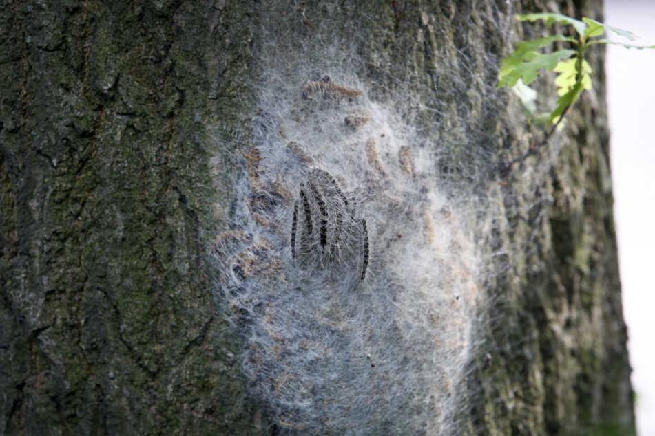 Ein Baum ist von einem Nest der Raupen befallen.