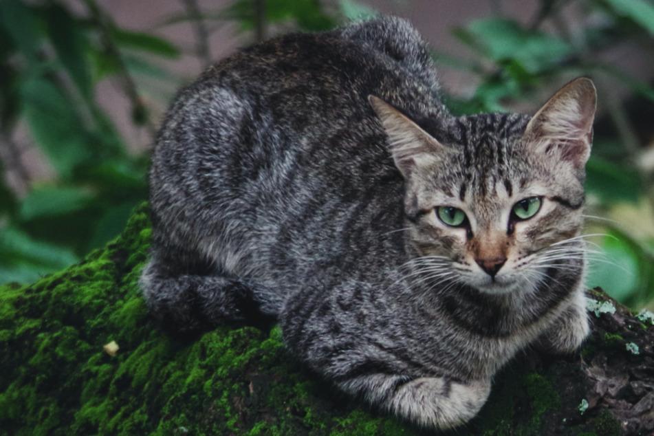 In Niedersachsen gibt es rund 150.000 streunende Katzen. (Symbolbild)