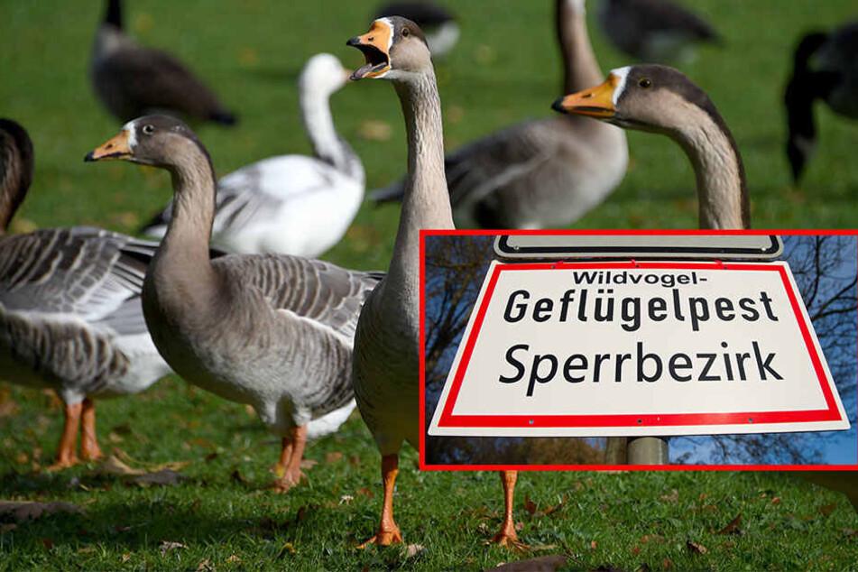 Die Gefahr der Geflügelpest scheint auch in Leipzig gebannt- ab dem 13. April werden alle Sperr- und Beobachtungsgebiete in der Stadt aufgehoben.