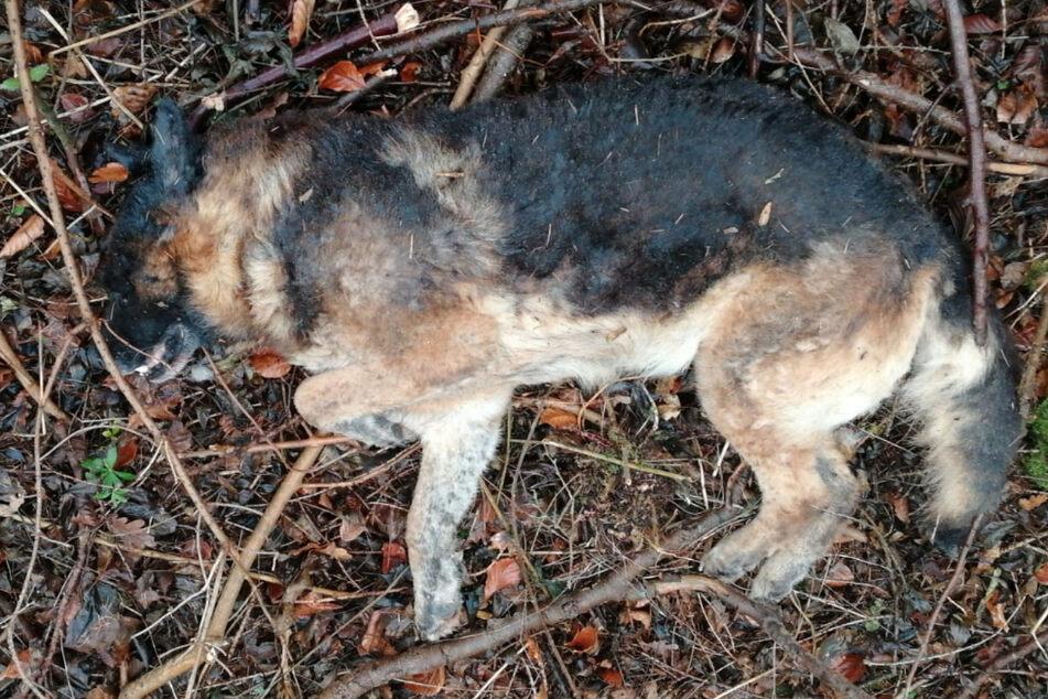 Die Polizei sucht den Besitzer dieses toten Schäferhundes.
