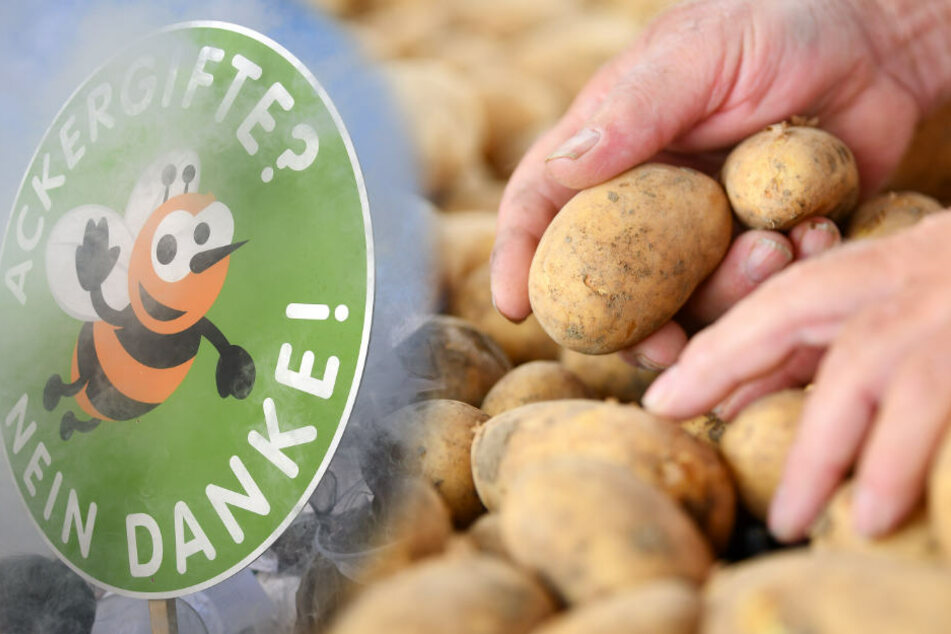 Rückstände nachgewiesen! Wie bedenklich ist der Verzehr von Kartoffeln?