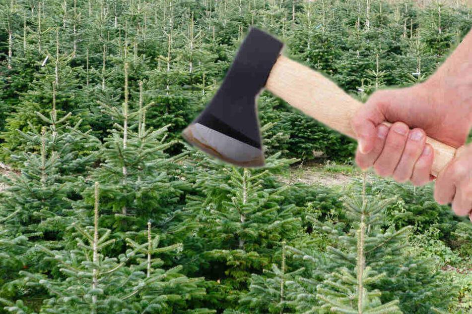 Der Schaden durch die nun unverkäuflichen Weihnachtsbäume wird auf rund 8000 Euro geschätzt