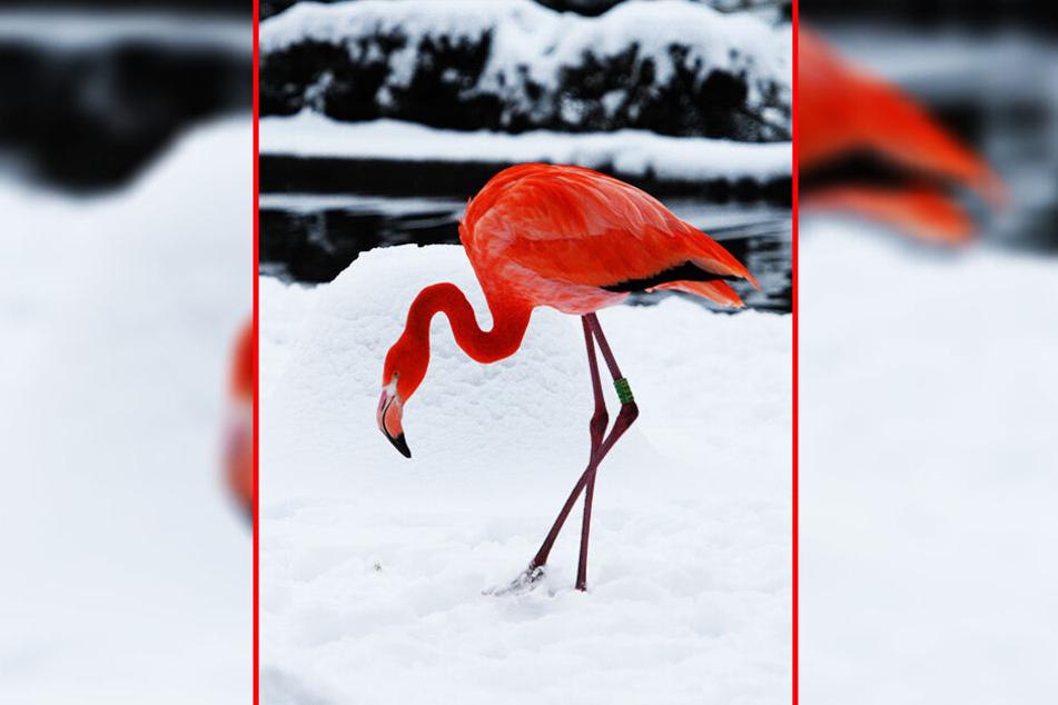 Professor Klaus Eulenberger (75) weiß: Flamingos bekommen im Winter auch mal kalte Füße.
