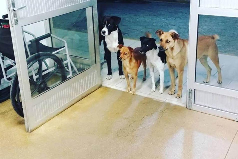 Die vier Hunde von César warteten brav am Eingang des Krankenhauses.