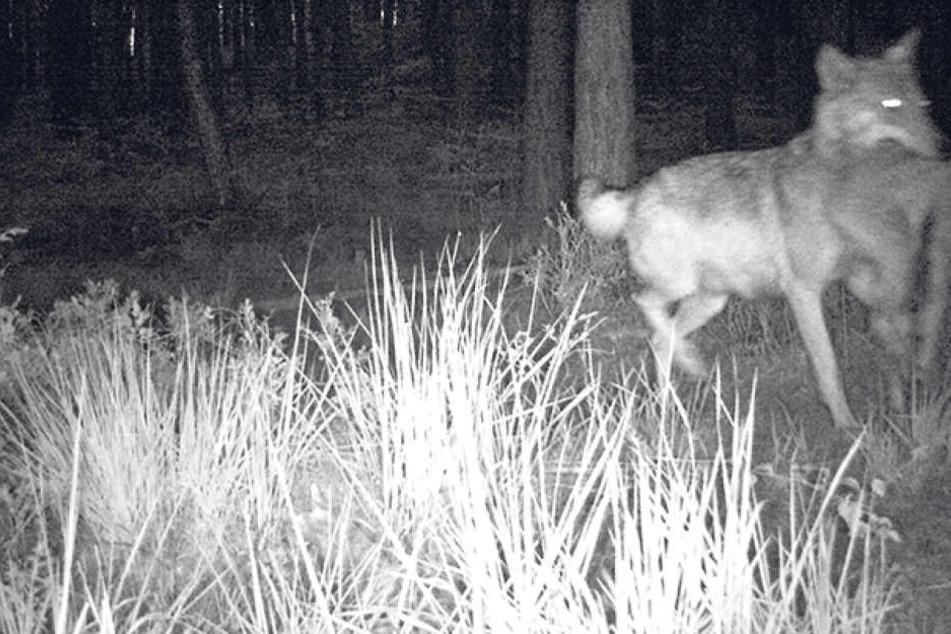 Erwischt! Mit Beute im Maul tapste diese Wölfin in der Dahlener Heide  (Landkreis Nordsachsen) in die Fotofalle.