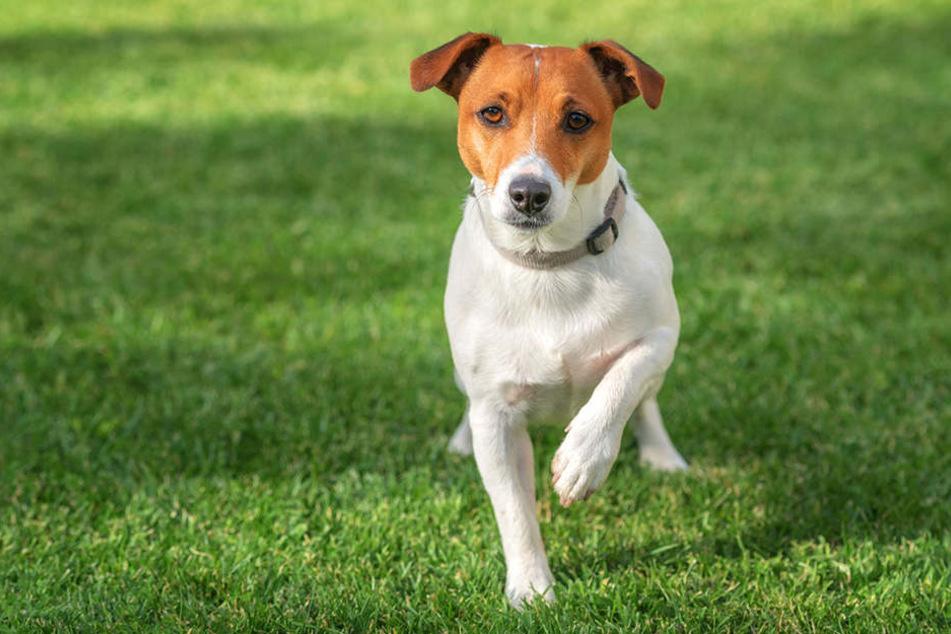 Von ihrem neuen Jack-Russell-Terrier hatte die Besitzerin nicht lange was. (Symbolbild)