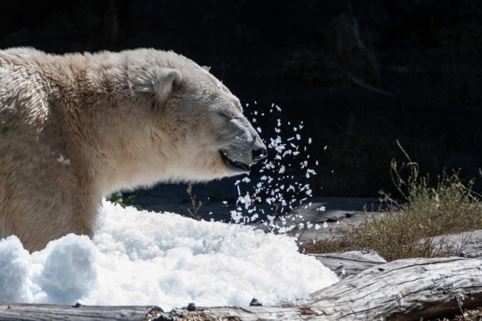 Am Dienstag hielt der Berliner Tierpark eine eiskalte Überraschung für Eisbären-Dame Tonja bereit.