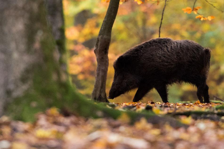 Die vielen Eicheln und Bucheckern sind ein gefundenes Fressen für Wildtiere. Wildschweine könnten sich fleißig vermehren. (Symbolbild)