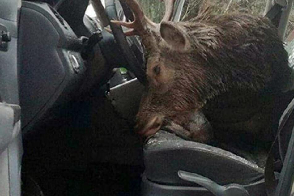 Der Hirsch landete nach dem Crash direkt auf dem Fahrersitz. Das Geweih war zum Teil in das Lenkrad eingekeilt.