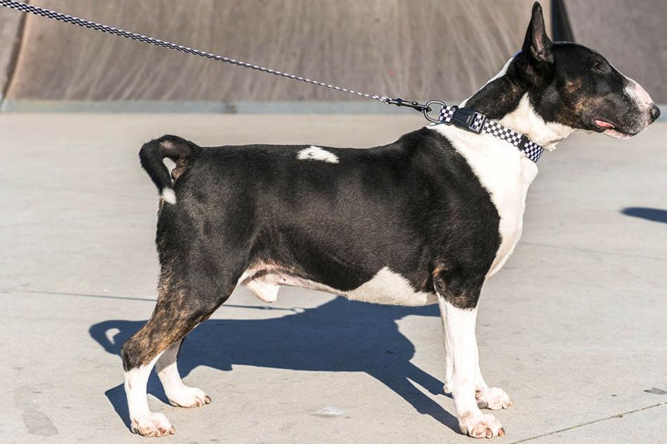 Ein Miniature Bull Terrier verletzte eine Leipzigerin am Dienstagmorgen durch mehrere Bisse. (Symbolbild)