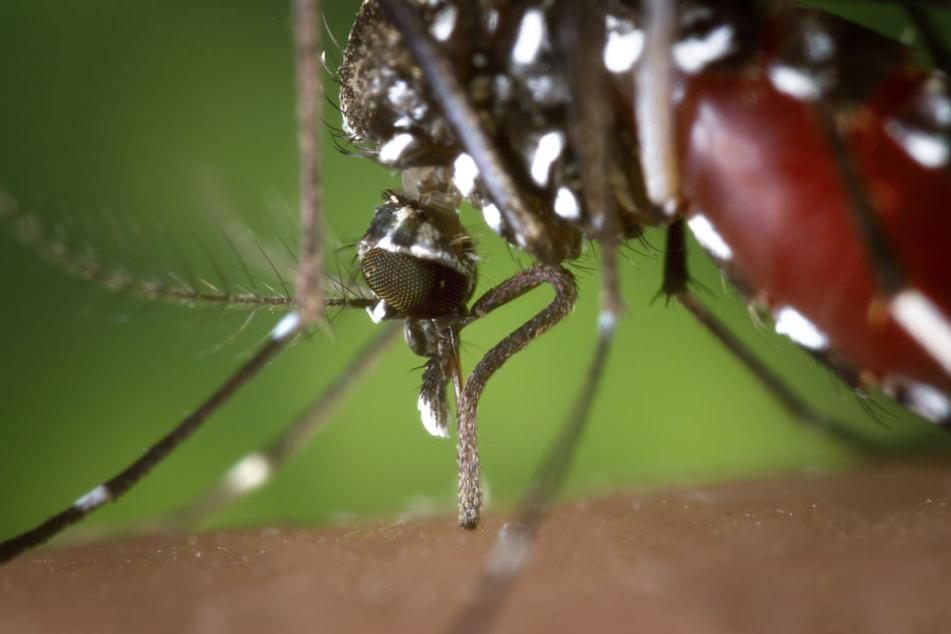 Die Tigermücke gilt als gefährlich, weil sie zahlreiche Krankheitserreger wie das Dengue- oder Zikavirus übertragen kann.