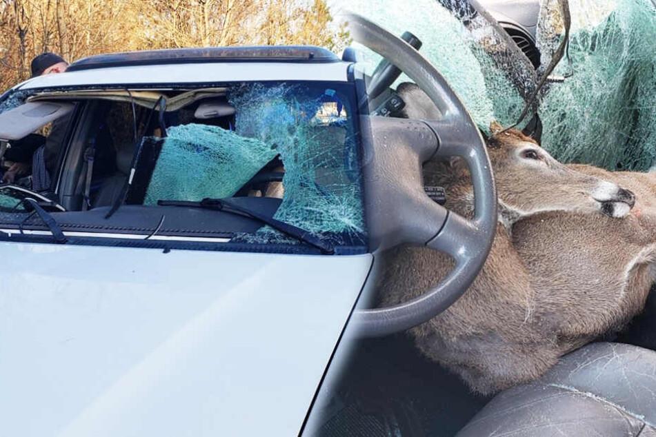 Auto kracht voll in Hirsch, dann fährt das Tier ein Stück mit