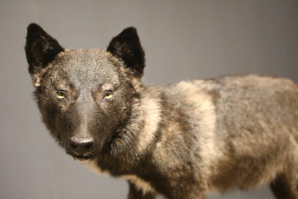 Ein Tier aus dem ersten Mischlingswurf wurde ausgestopft und steht nun im Naturkundemuseum in Erfurt.