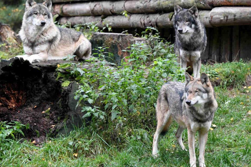 Die Wölfe haben mittlerweile auch Usedom für sich entdeckt. (Symbolbild)