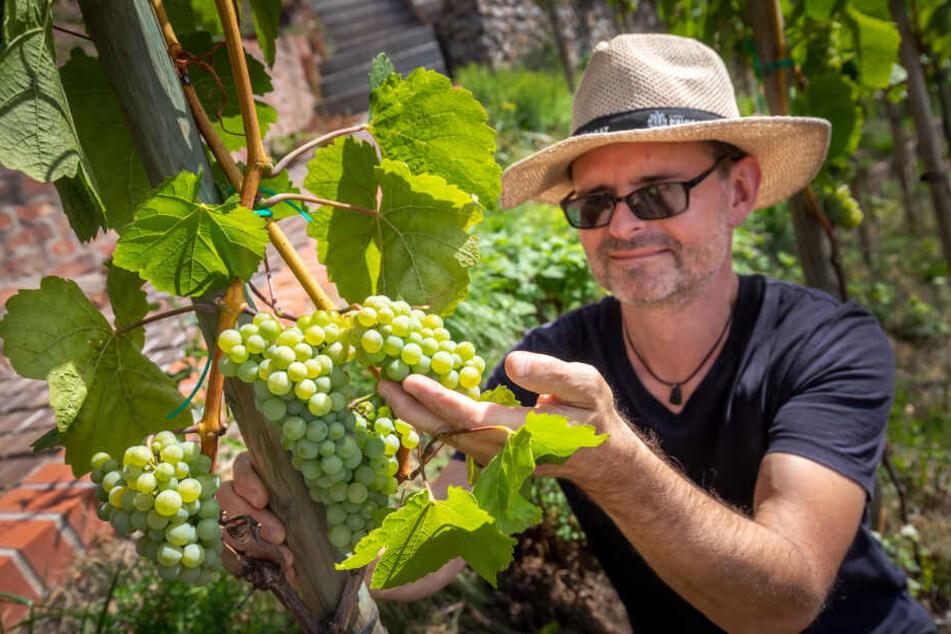 Rebstöcke für Schloss Lichtenstein: Hier reift echter Erzgebirgswein