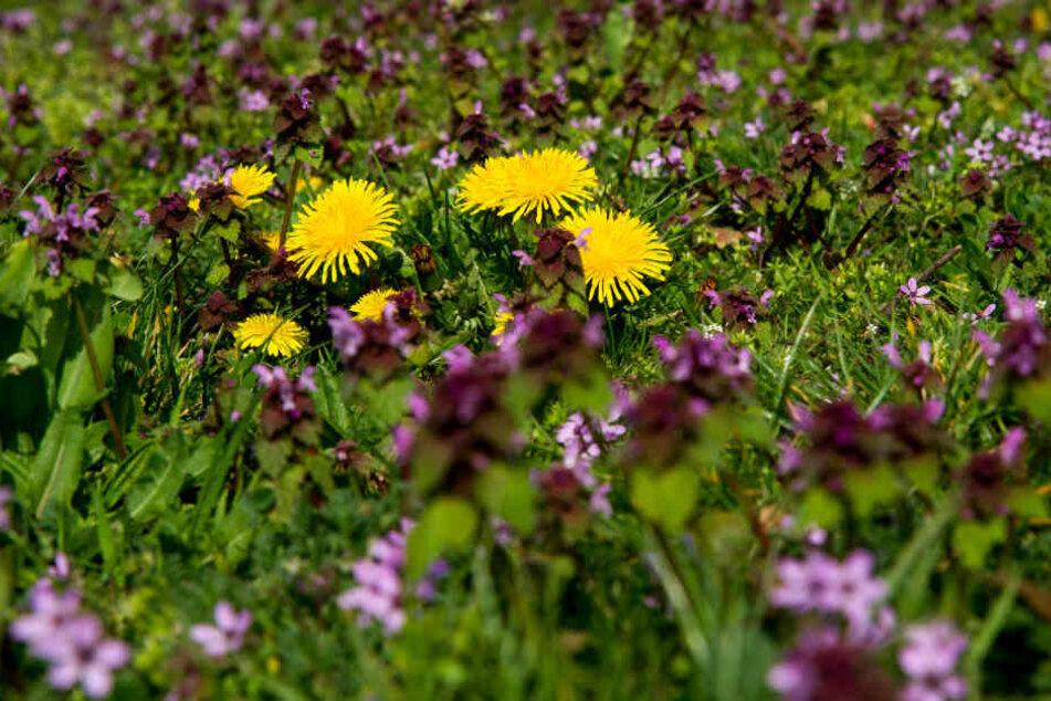 Löwenzahn und Taubnesseln blühen auf einer Wiese, die Blüten bieten vielen Insekten Nahrung.