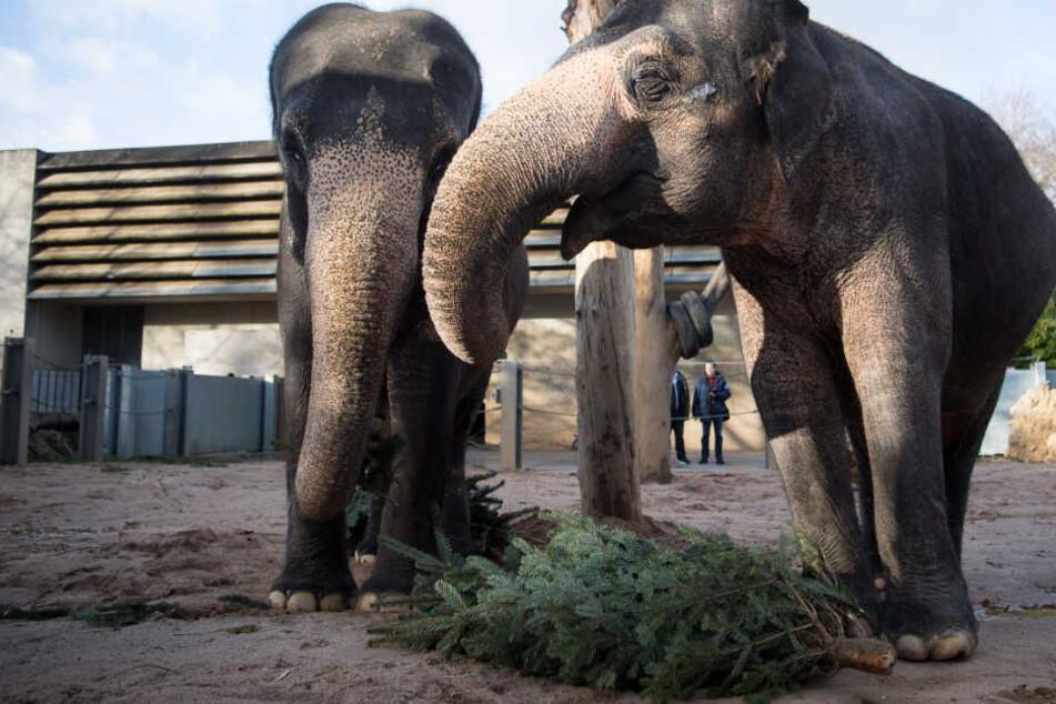 Die Tiere bekommen keine ausgedienten Weihnachtsbäume von Privatleuten.
