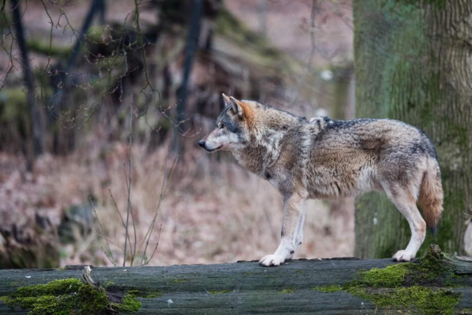 Nur 20 Kilometer vom Fundort des Tieres entfernt, wurde ein Wolf erst vor wenigen Tagen gefilmt (Symbolfoto).