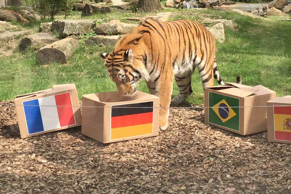 Neues WM-Orakel: Hat dieser Tiger den richtigen Riecher?