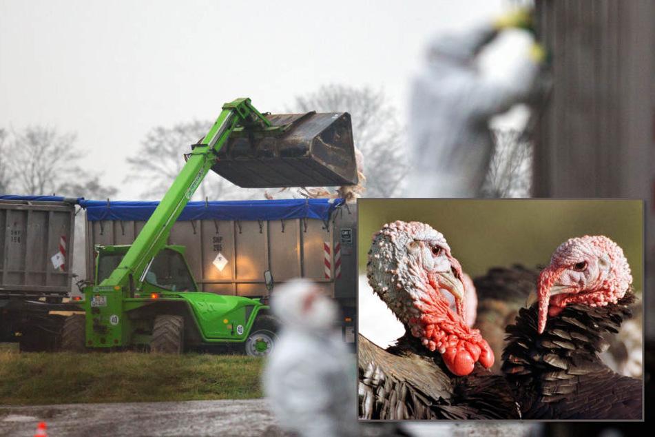 Mit einem Bagger wurden am Sonnatg gekeulte Puten an einem  Geflügelmastbetrieb in Anröchte (Nordrhein Westfalen) auf einen LKW  geladen.