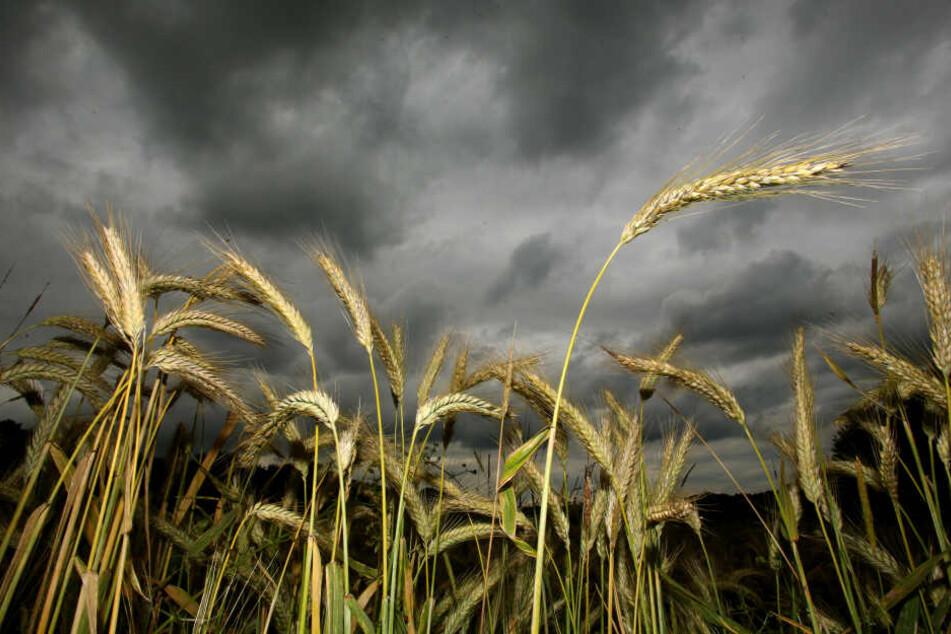 Laut der Prognose wird die Ernte 2019 mau ausfallen.