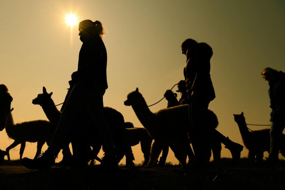 Eine Gruppe von Personen macht mit Lamas und Alpakas einen Spaziergang. Auf verschiedenen Höfen in Deutschland werden neben Fotoshootings und Wollprodukten, auch Wanderungen mit den aus Lateinamerika stammenden Tieren angeboten.