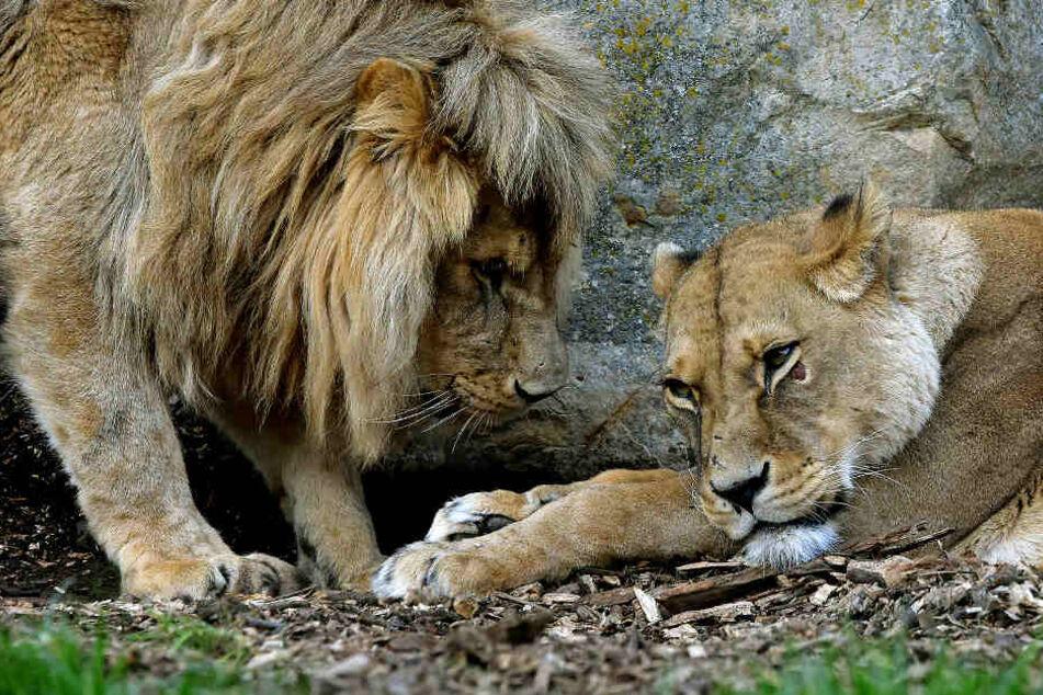 Große Sorge im Erfurter Zoo! Was ist nur mit Löwin Ribat los?