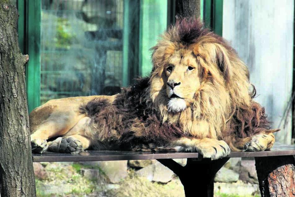 Löwe Malik (†14) war der Star des Chemnitzer Tierparks, musste vor einer Woche eingeschläfert werden.