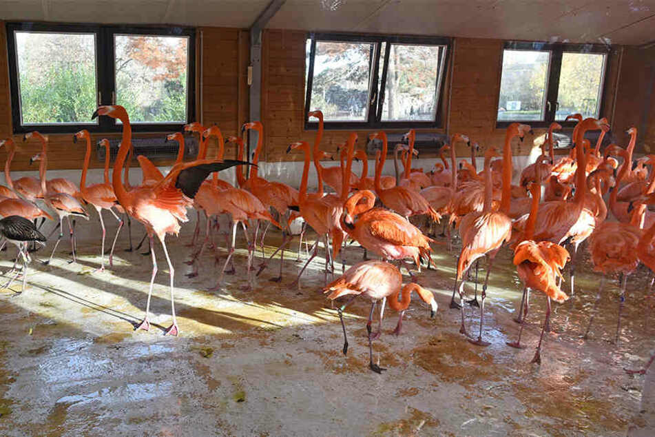 Die Flamingos im Kölner Zoo mussten in ihrem Winterhaus untergebracht werden.