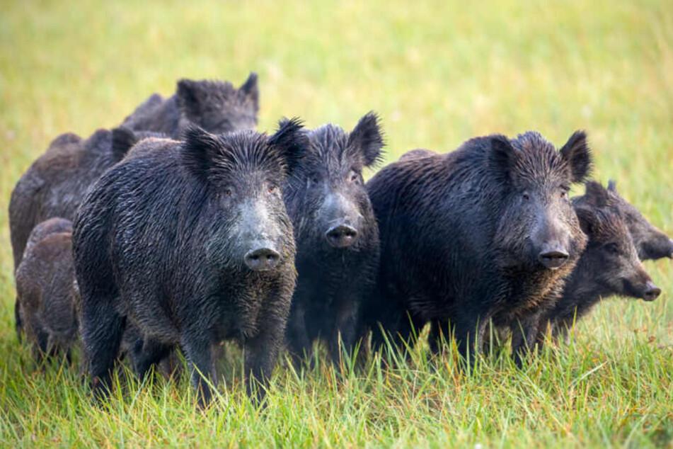 Ein Pathologe bestätigte, dass die Frau von Wildschweinen gebissen wurde.