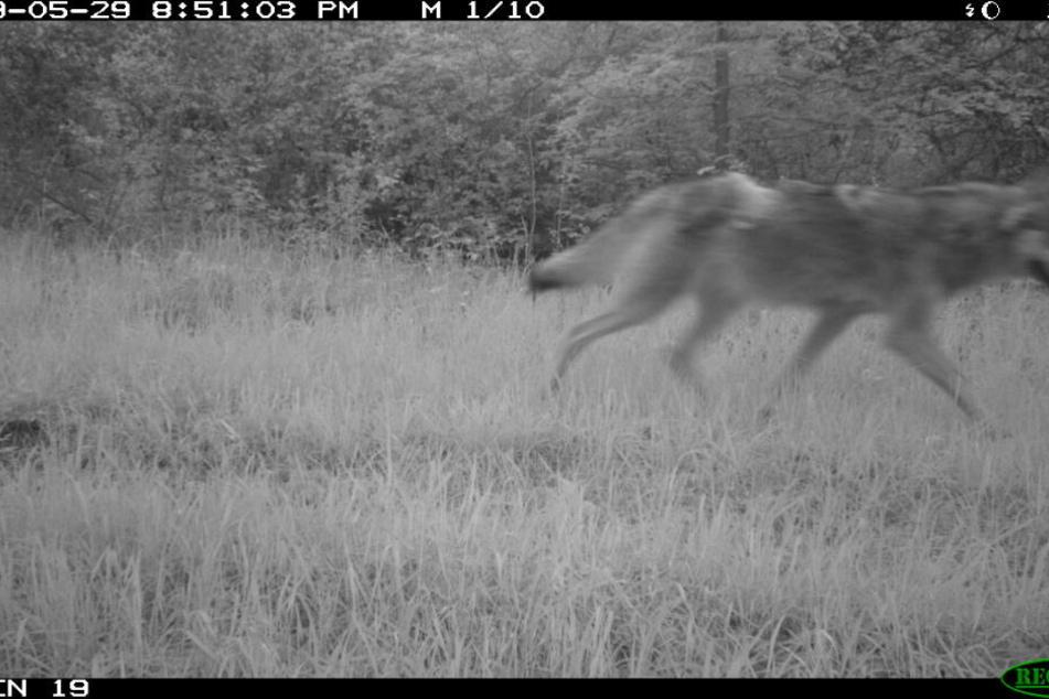 Dieses Foto wurde von dem männlichen Wolf aufgenommen.