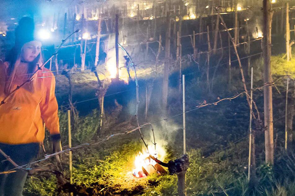 Helferin Ulrike Müller läuft durch die Rebzeilen des Weinguts Schuh. Die ganze Nacht behält sie die qualmenden Feuer im Blick.