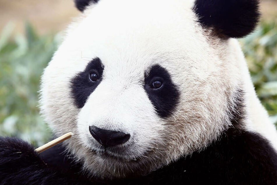 Derzeit gibt es Schätzungen zufolge 2060 Pandas.
