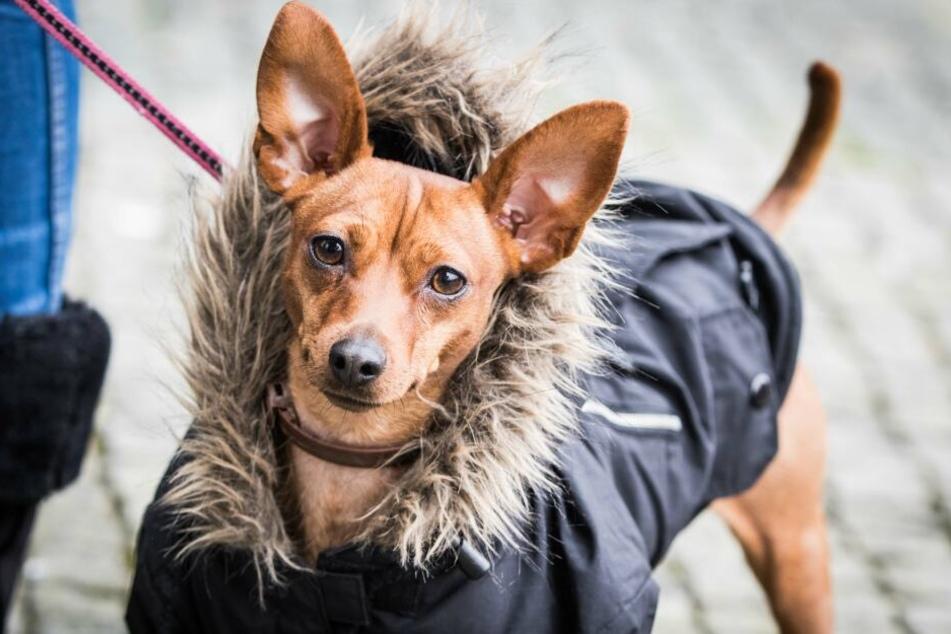 Gegen die kühlen Temperaturen ist es sinnvoll von Natur aus kurzhaarigen Hunden, wie Pinschern, einen Mantel anzuziehen.