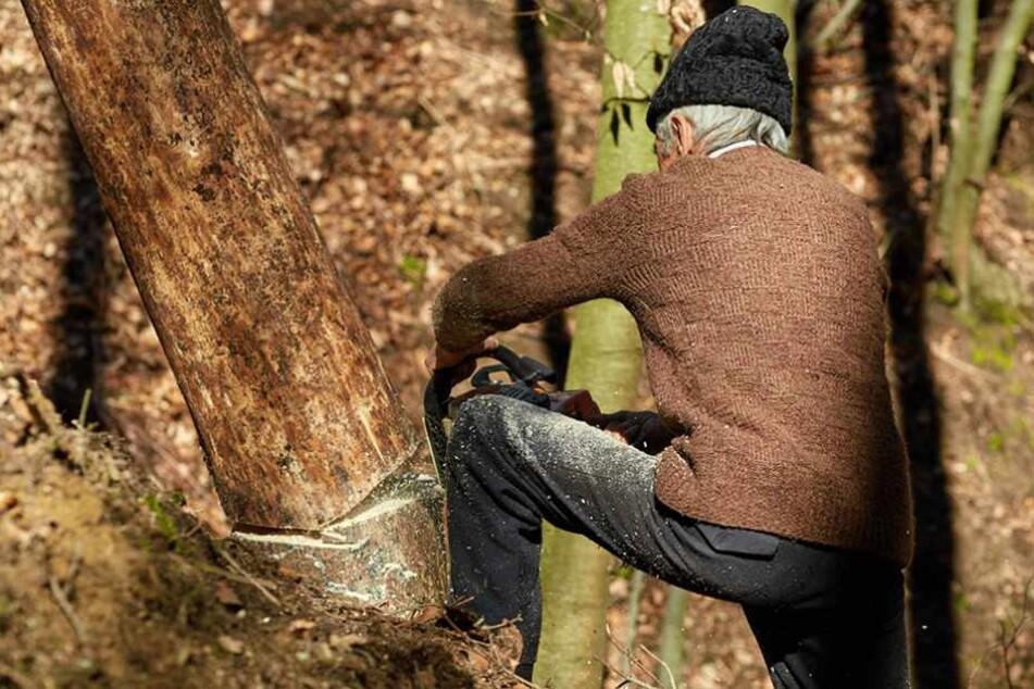 Der rüstige Rentner legte vier Eichen um, und begann das Holz abzutransportieren.
