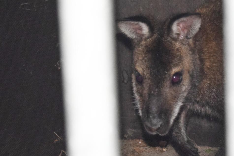 Flüchtiges Känguru gefangen: So ging es in die Falle