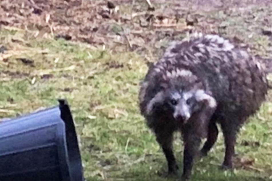 Dieser ungewöhnliche große Marderhund versetzt Dorfbewohner in Angst und Schrecken.
