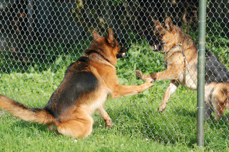 Die Schäferhunde töteten den Soldaten (Symbolbild).