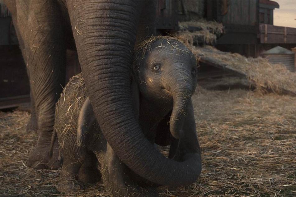 Dumbo läuft momentan als Realfilm-Verfilmung im Kino.