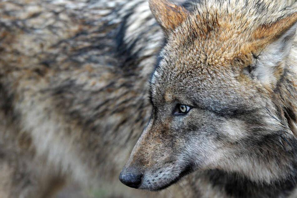 Der Wolf ist zurück - und polarisiert! (Archivbild)